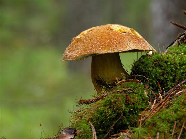 Гриб моховик в лесу