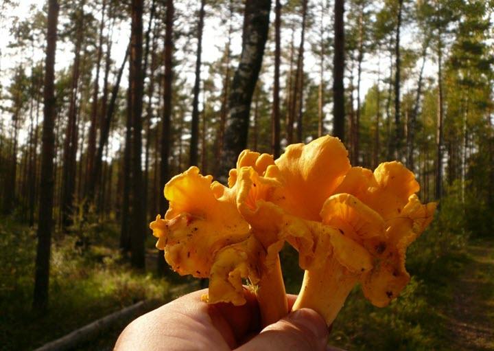 Чистка лисичек в лесу