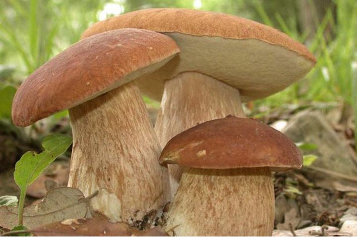 Распознавание грибов